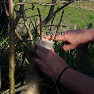 top-grafting-kahikatea-farm