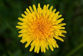 dandelion-flower-kahikatea-farm