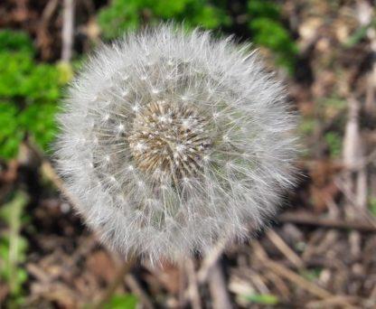 dandelion-seed-head-kahikatea-farm