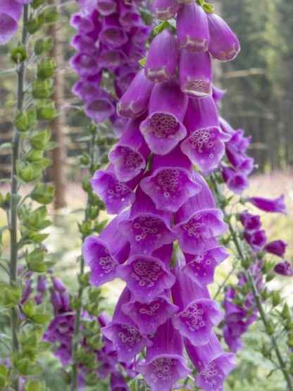 Digitalis purpurea - Foxglove True Wild Form Purple Kahikatea farm