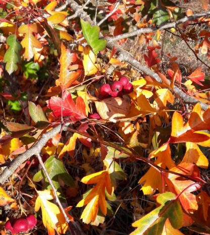 hawthorn-autumn-colour-kahikatea-farm