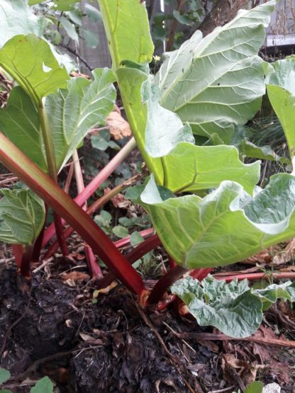 rhubarb-generic-image-kahikatea-farm