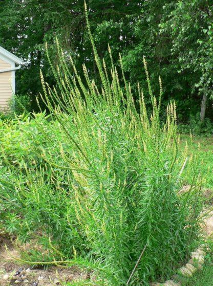 weld-plants-flowering-local-color-dyes-kahikatea-farm
