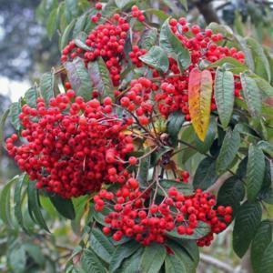Sorbus-wilsoniana-Chinese-Rowan-berries