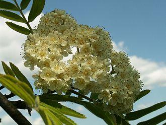Sorbus_aucuparia_inflorescence