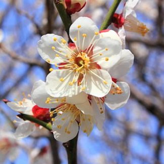 Prunus_mume-blossom