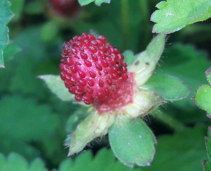 mock-strawberry-fruit-kahikatea-farm