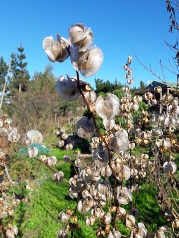 shoo-fly-plant-seed-pods-kahikatea-farm