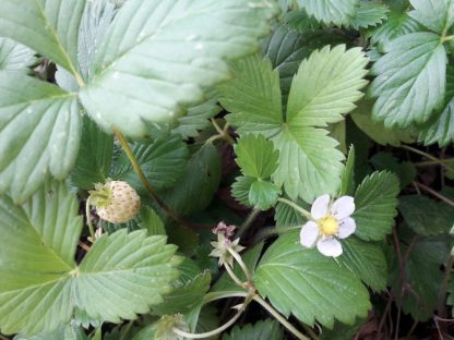 wild-strawberry-white-fruit-and-flower-kahikatea-farm