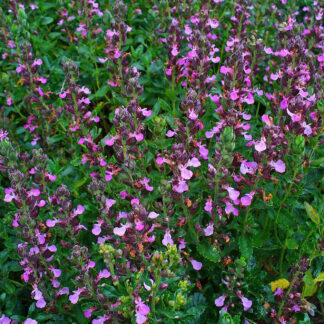 Teucrium-chamaedrys-wall-germander