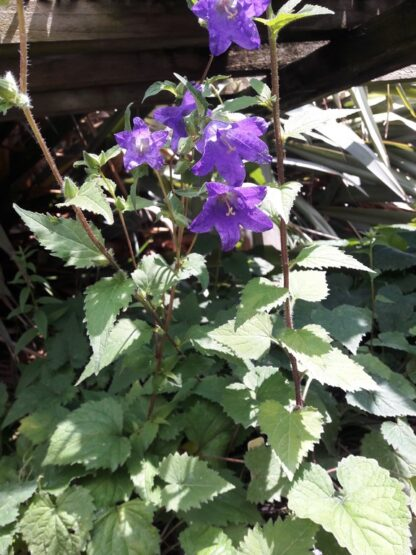 greater-bellflower-plants-kahikatea-farm