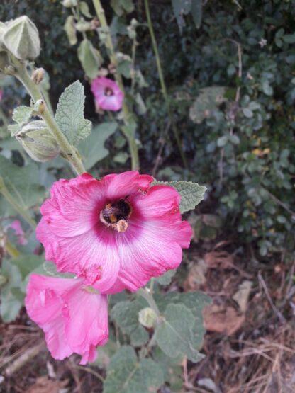 hollyhock-magenta-bumble-bee-kahikatea-farm
