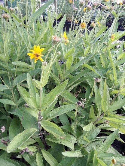 meadow-arnica-plants-kahikatea-farm
