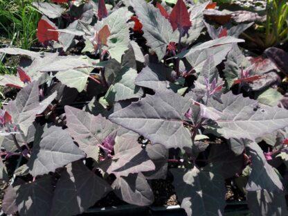 orach-red-mountain-spinach-kahikatea-farm