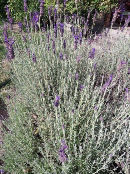 lavender-lavandula-stoechas-kahikatea-farm