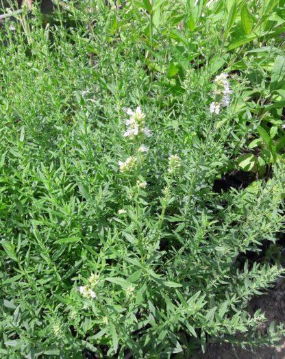 white-hyssop-plants-kahikatea-farm