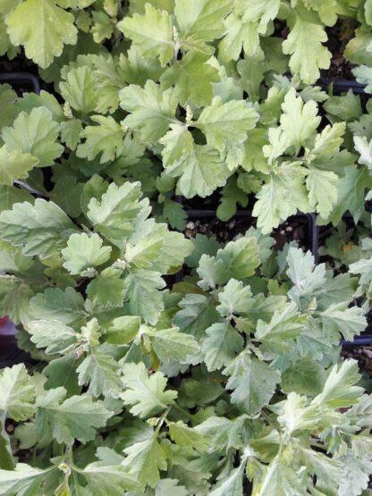 yomogi-artemisia-princeps-japanese-mugwort-korean-wormwood-kahikatea-farm