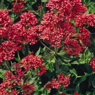 false-valerian-pretty-betsy
