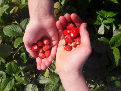 wild-strawberries-kahikatea-farm