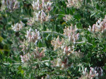 Dorycnium-hirsutum-lotus-hirsutus