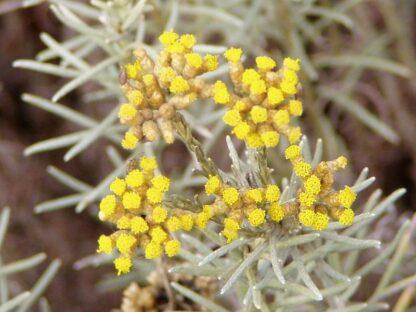 Helichrysum_italicum_flowers