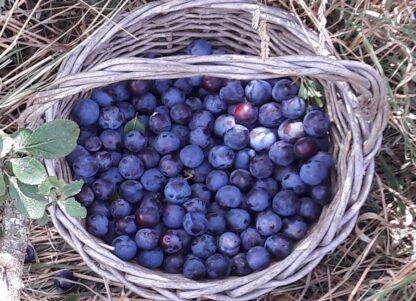 damson-fruit-kahikatea-farm