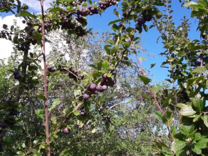 damson-tree-kahikatea-farm