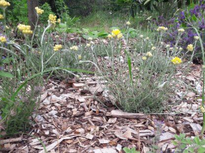 helichrysum-italicum-curry-plant-kahikatea-farm (2) (Copy)