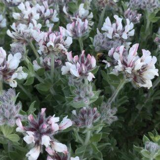 lotus-hirsutus-dorycnium-hirsutumbeth-chatto-kahikatea-farm