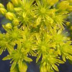 Sedum-rupestre-Blue-Spruce-Stonecrop-flowers