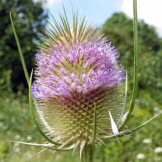 Teasel_flower-Dipsacus_fullonum
