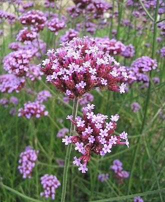 Verbena-bonariensis-vervain-purpletop