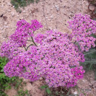 achillea-shades-of-pink-kahikatea-farm