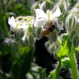 borage-white-bees-kahikatea-farm